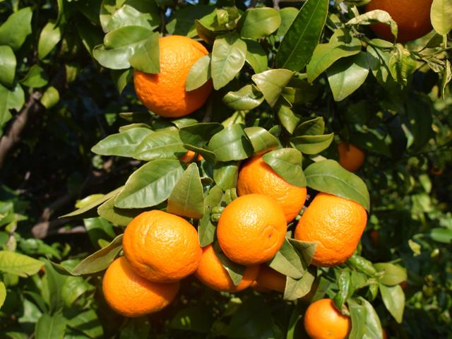 enriqueromay_nuevas-variedades-cítricos