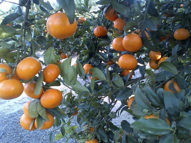 nueva variedad citricos_sunchine