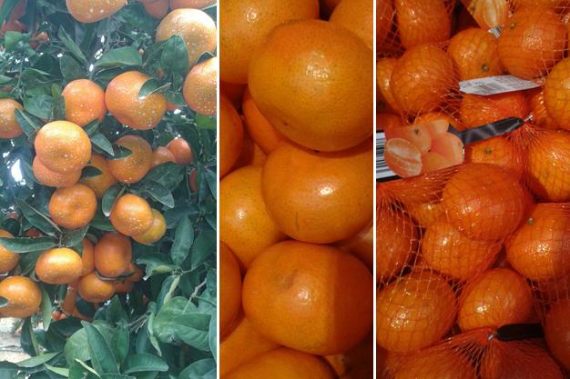 nuevas variedades cítricos