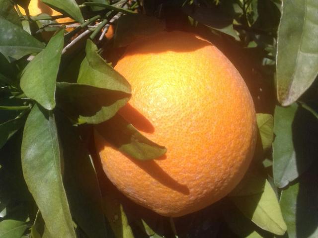 nuevas variedades citricos_ cambria