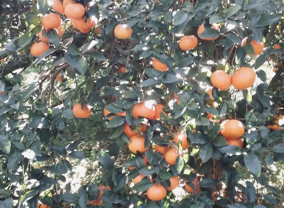 mandarinas híbridas Enrique Romay